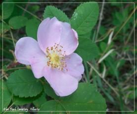 Glen Park Cemetery rose